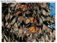 Figure 52.0 Monarch butterflies