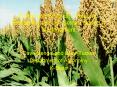 Enhancing Sorghum Yield and Profitability through Sensor Based N Management