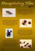 These miniature decapitating flies Order: Diptera, Family: Phoridae, Genus: Pseudacteon, also called